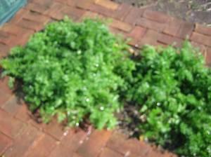 Zanahorias de 40 dias